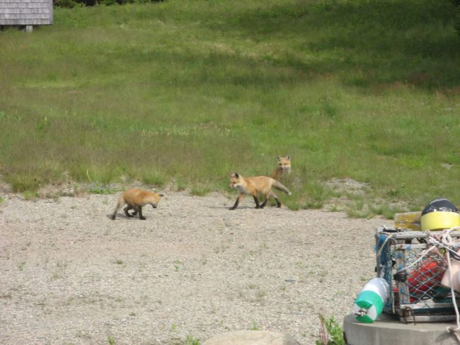 Fox kits, near Log Cabin by the Sea, peaceful serenity of the forest