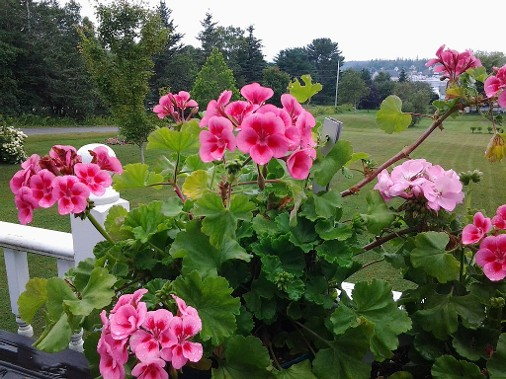 Pink geraniums in guest house gardens