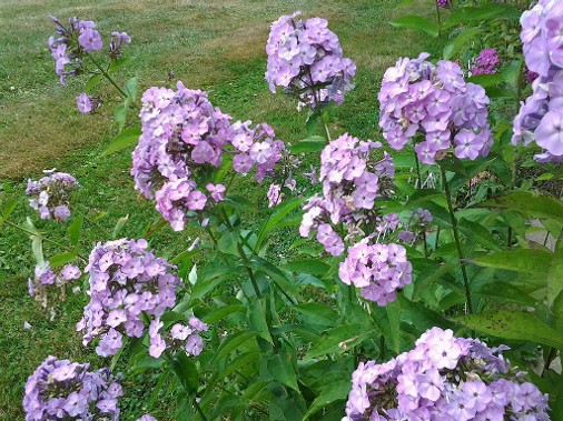 Purple phlox in guest house gardens