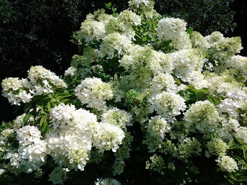 Snowball bush in guest house gardens