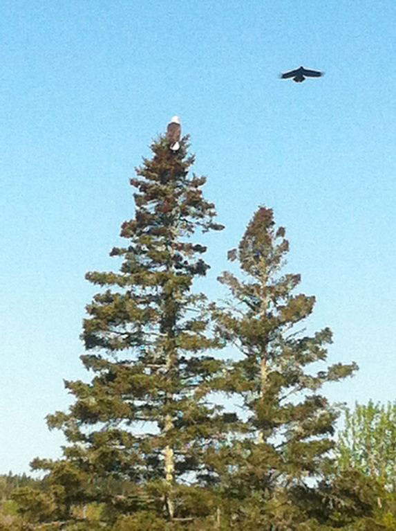 Eagles, Bass Harbor Cottages and Country Inn