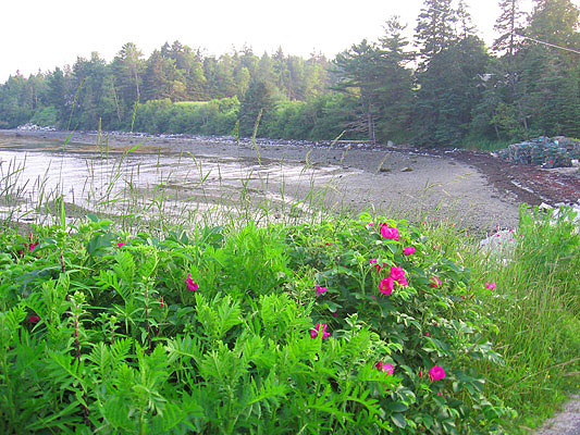 Wild roses at Jellison Cove (nearby)