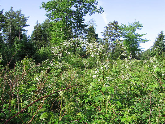 Blackberries in bloom